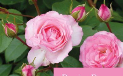 Rosier Roses